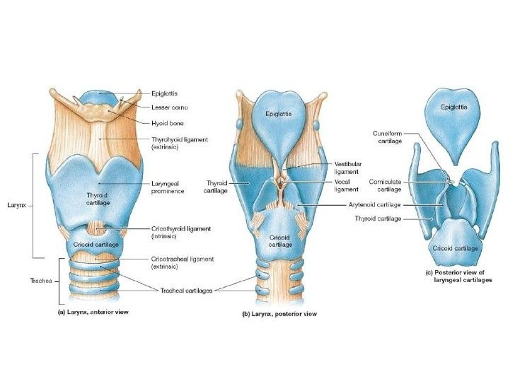 Larynx Labeled