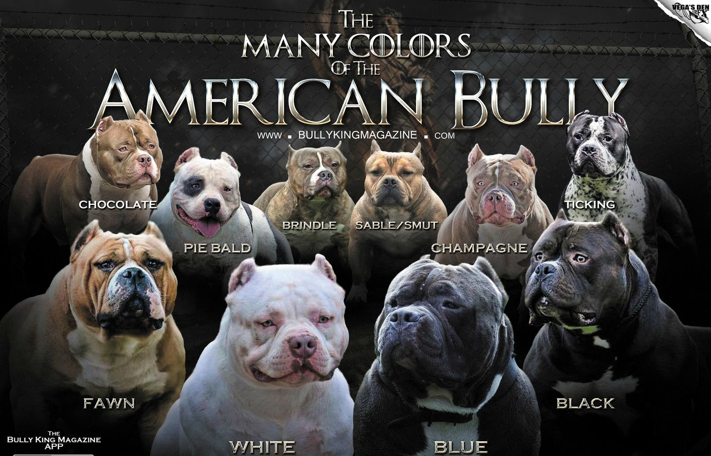 The 1 American Bully Breed Magazine News Articles Features