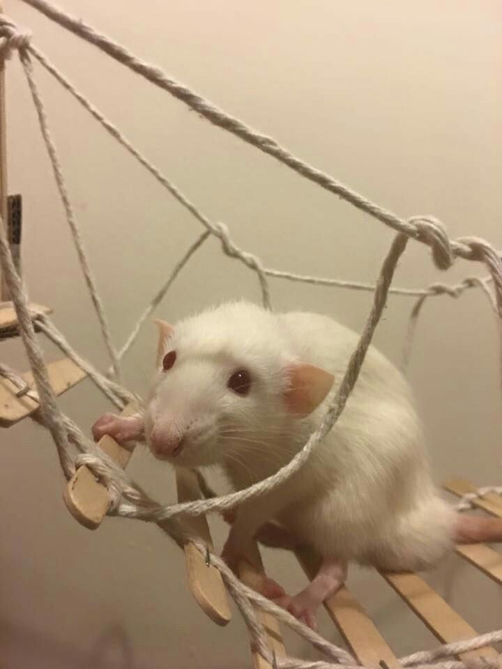 Rope bridge from popsicle sticks (With images) Pet mice