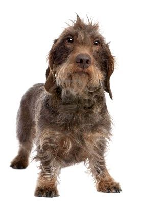 I Really Want A Wirehaired They Look Just Like Little Old Men