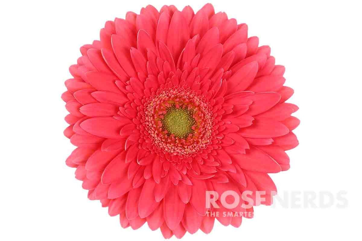 Coral Reef Gerbera Daisy Flower With Images Gerbera Daisy