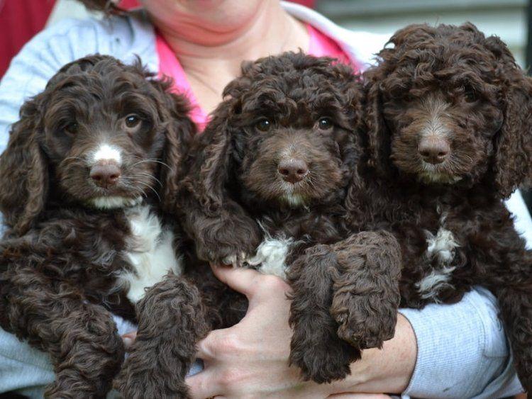 Springerdoodle Puppies Characteristics Pictures Advantages