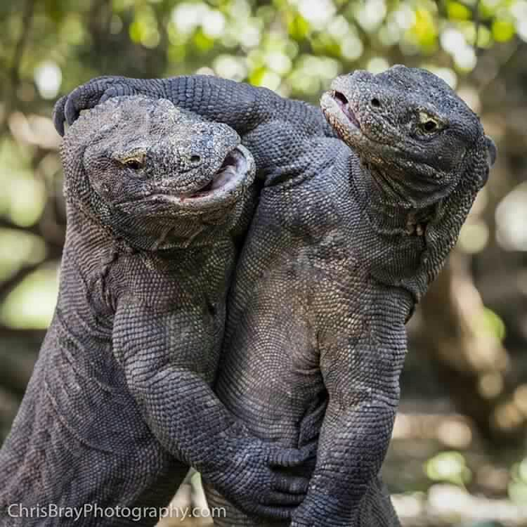 Image result for Photographer Fights Off Wild Komodo Dragon