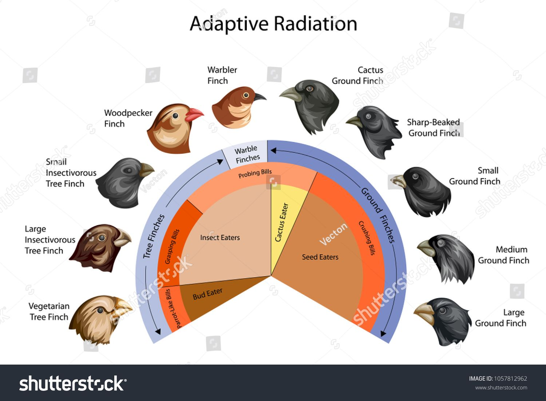 Education Chart Of Biology For Adaptive Radiation Of Galapagos