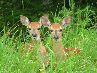 Deer Spirit Animal Energies ~  Presence of Angels, New Adventures...