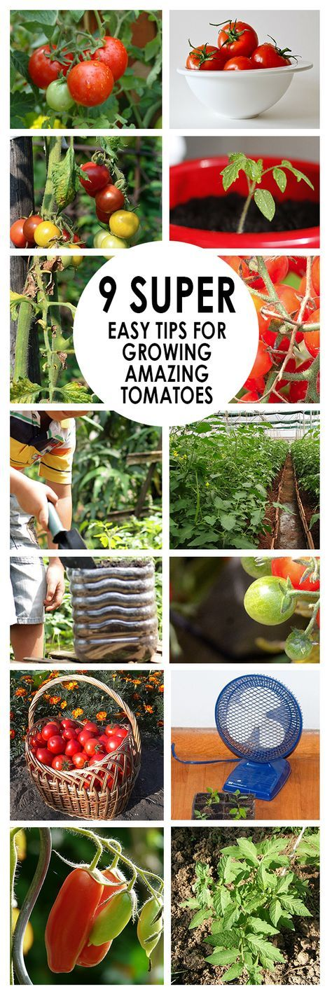 9 Super Easy Tips For Growing Amazing Tomatoes