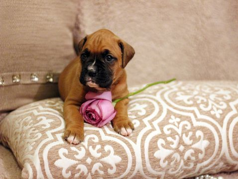 Boxer puppy for sale in OZARK, MO. ADN23488 on