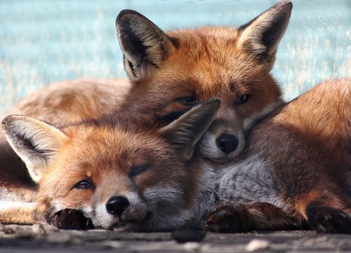 foxes over each other