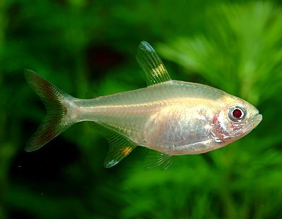 X Ray Tetra Tetra Fish Animals Aquarium Pictures