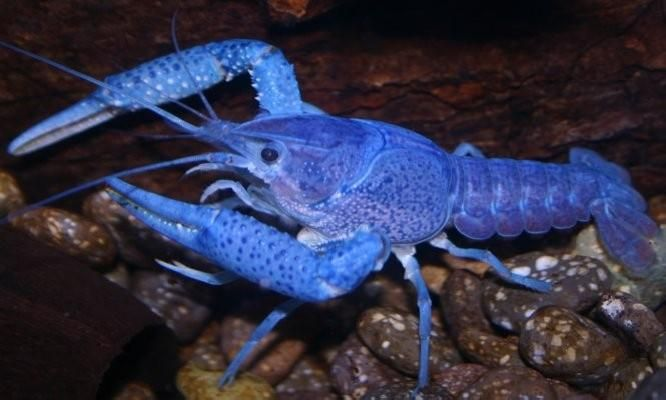 The Blue Lobster Crayfish Is Not A Lobster Freshwater Lobster Crayfish Rare Animals