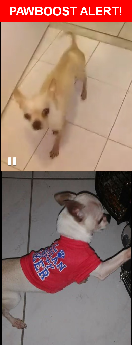 Please spread the word! Taquito was last seen in Miami, FL 33189.  Description: male chihuahua, white / light beige color. Missing since 10/30/16  Nearest Address: 20630 SW 114 Ct