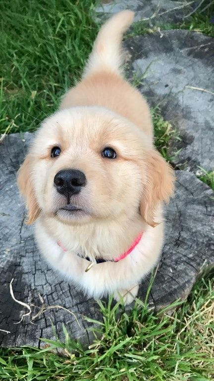 Reddit Meet Darcy Aww Cute Dogs Cute Animals Golden Retriever