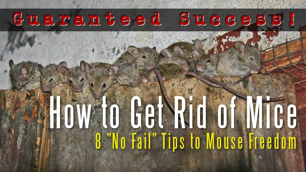 How To Get Rid Of Mice In A House Attic Apartment Garage Etc Youtube Getting Rid Of Mice Mice Repellent Getting Rid Of Rats