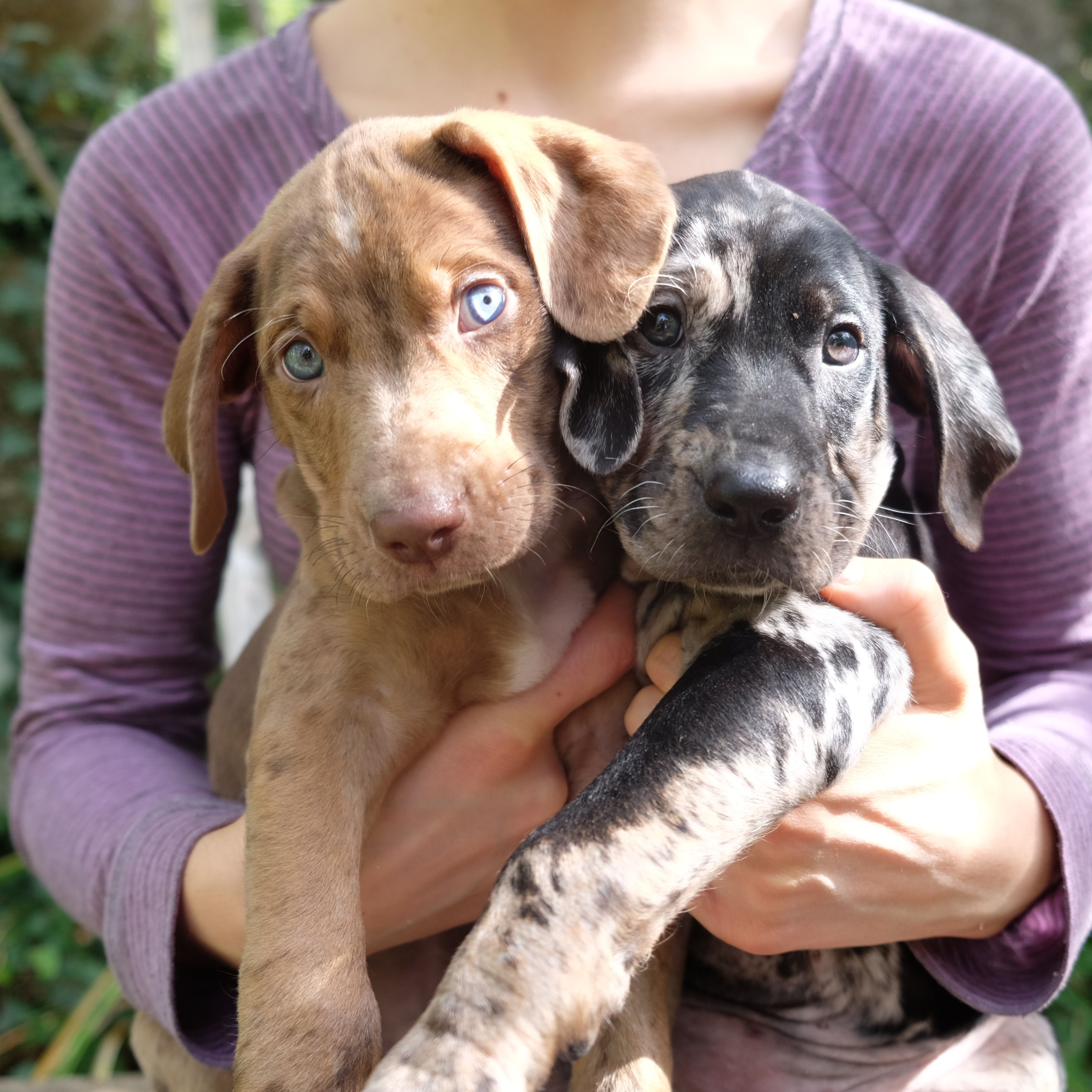 Bilbo And Bree Of Shooting Star Catahoulas Catahoula Leopard Dog Louisiana Catahoula Leopard Dog Working Dogs