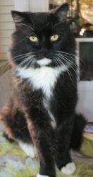 Adopt Stephano On Purebred Cats Cats And Kittens Cat Room