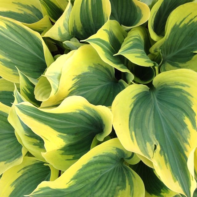 Love this Marilyn Monroe Hosta.