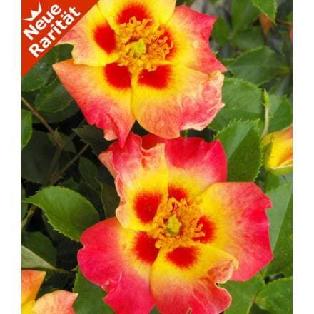 rose babylon eyes® 'sunshine', 1 pflanze - baldur-garten gmbh,