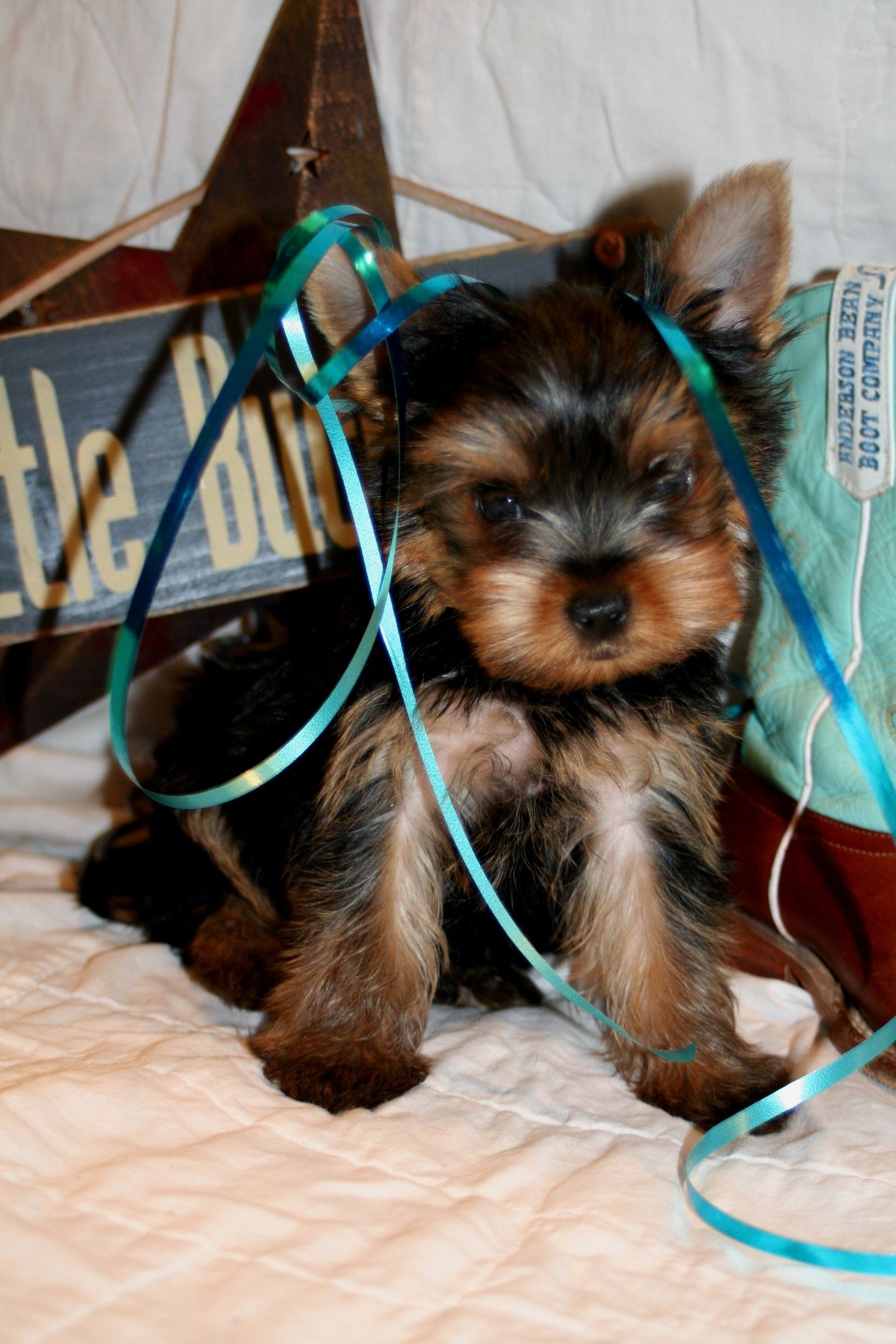 Wild West Yorkies Txyorkie Com Yorkie Puppies For Sale In Texas Past Puppies Black And Gold Yorkies Pa Puppies For Sale Yorkie Puppy Yorkie Puppy For Sale