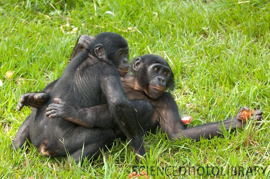 Bonobos Monkey Video Bonobo Monkey Mating Bonobo