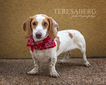 Get To Know Dallas Fort Worth Dachshund Rescue Foundation