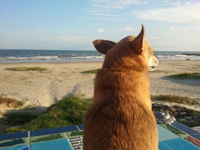 Chilling Chihuahua Galveston Beach