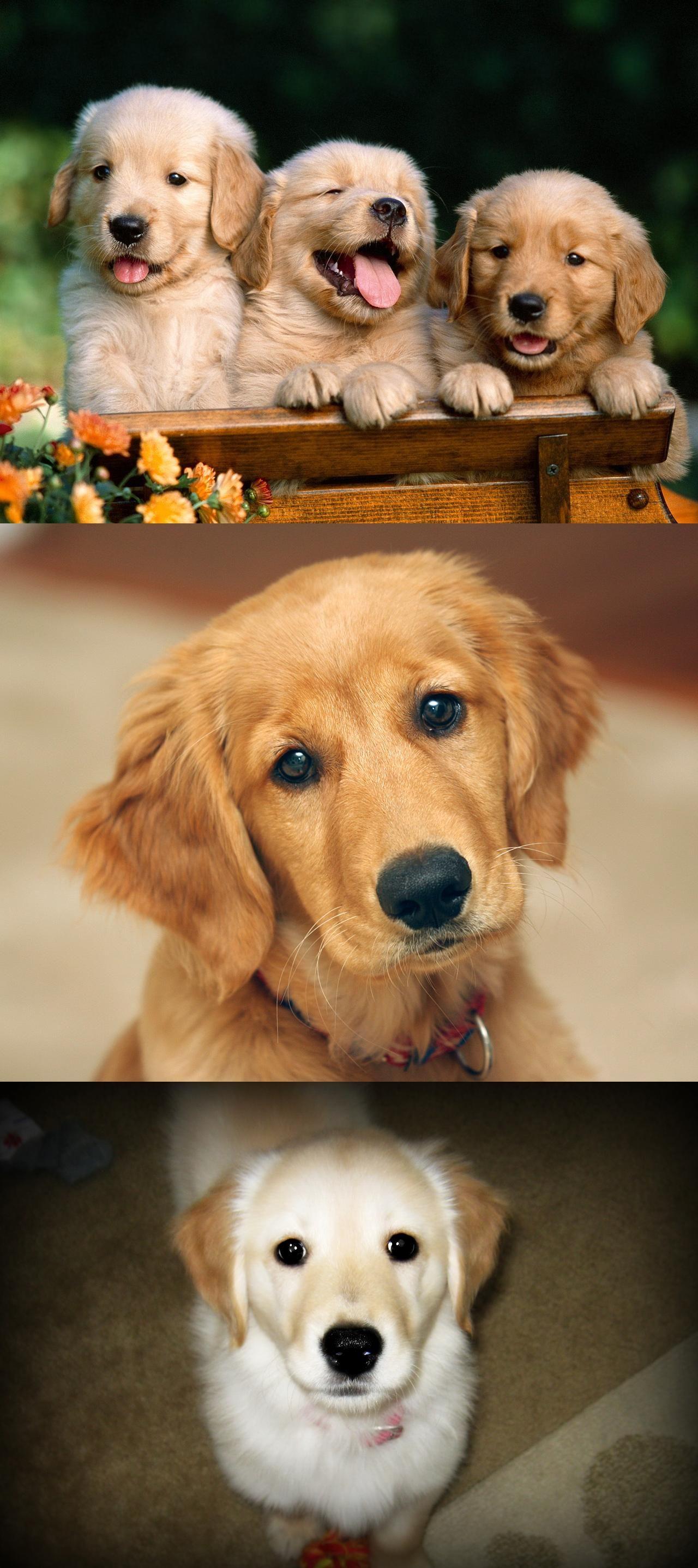 Friends Forever Golden Retriever Puppi Golden Retriever
