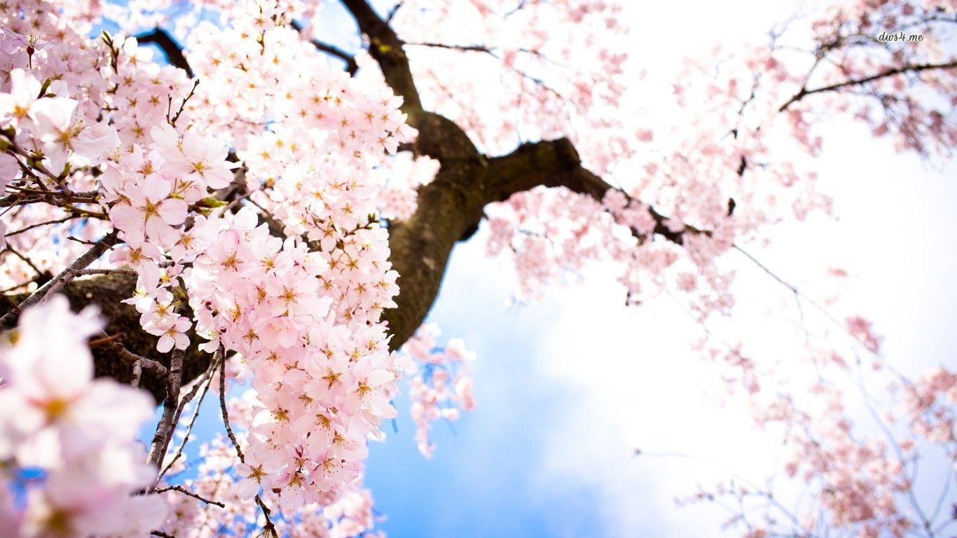Cherry Blossom Flower Desktop Background Free Download