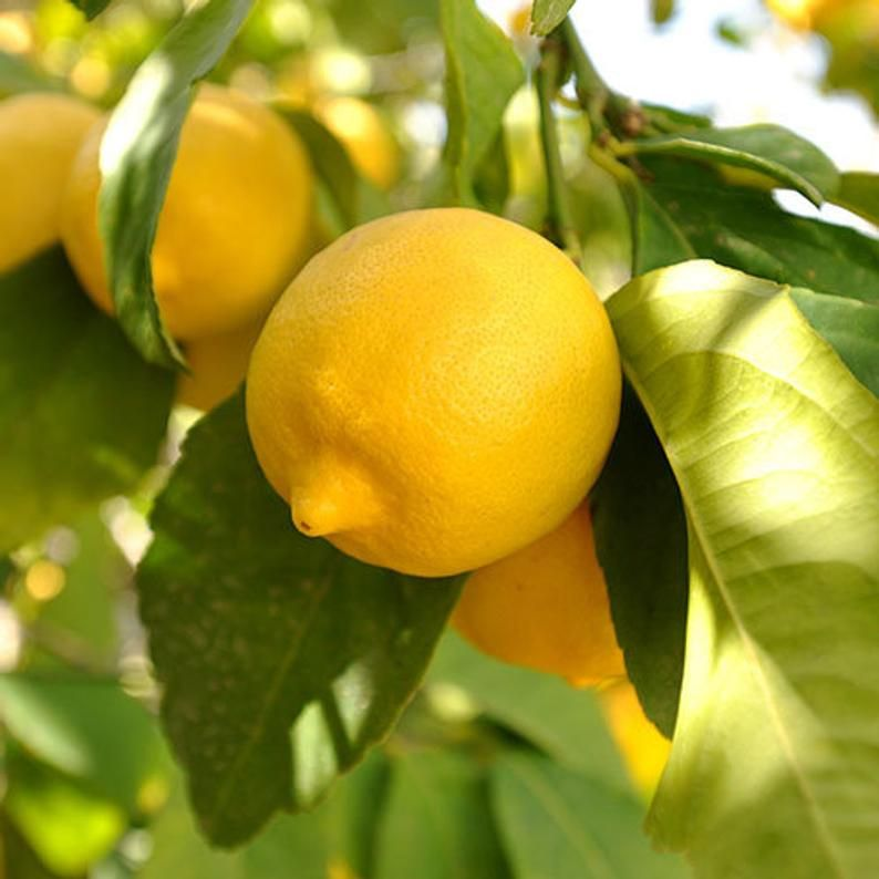 3 To 4 Year Tree And It Came Well Packed And In Good Shape And With Mor Eureka Lemon Tree Meyer Lemon Tree Eureka Lemon