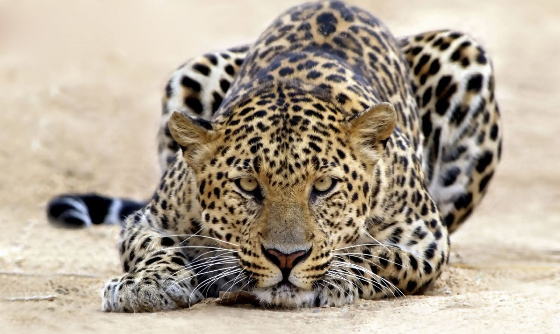 dangerous leopard