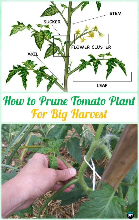 How To Prune Tomato Plants For Harvest Various Instructions