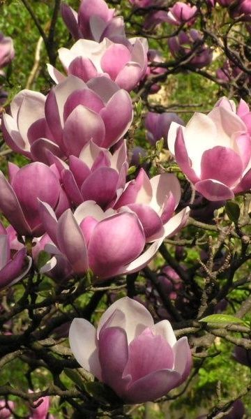 Magnolia Soulangeana With Large Showy Flowers Opening Before The Leaves Flores Brasileiras Magnolia Plantas