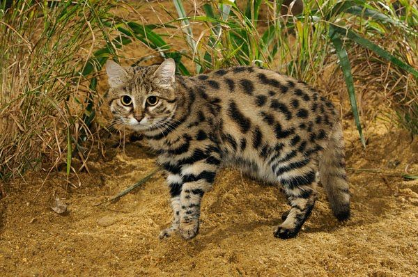 The black-footed cat (Felis nigripes) is the smallest African cat, and is endemic in the south west arid zone of the southern African subreg...