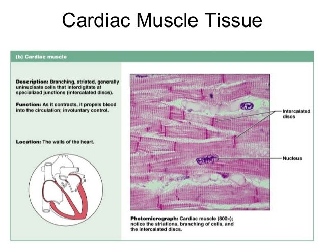 cardiac muscle labeled diagram 03 ford expedition stereo wiring image result for tissue slide anatomy
