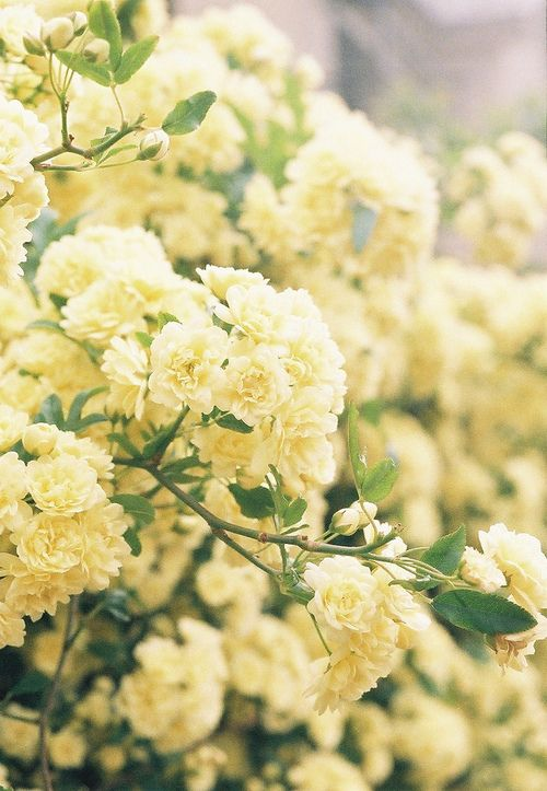 Inspirational Baby Names For Boys And S Pastel Yellowyellow Flowersrose