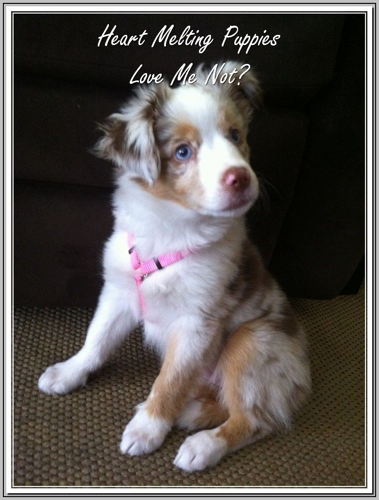 Sensible Helps With A New Dog Trasedogs Aussie Puppies Dogs Australian Shepherd