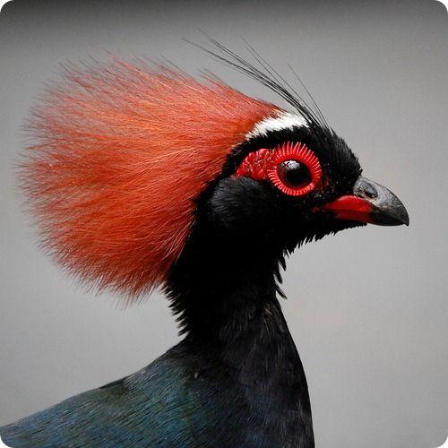 Венценосная куропатка   Домашние птицы, Экзотические птицы ...