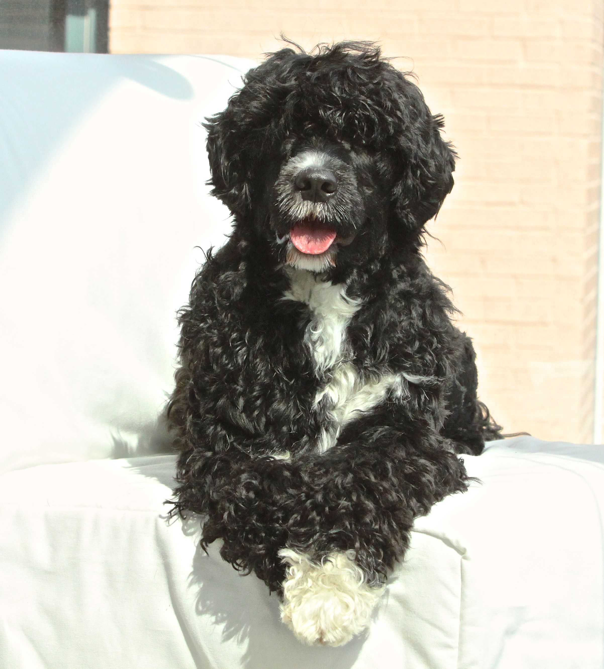 My Beautiful Portuguese Water Dog From Aquamarine Portuguese Water Dogs I Love The Breeder Barbara La Portuguese Water Dog Portugese Water Dogs Dog Print Art