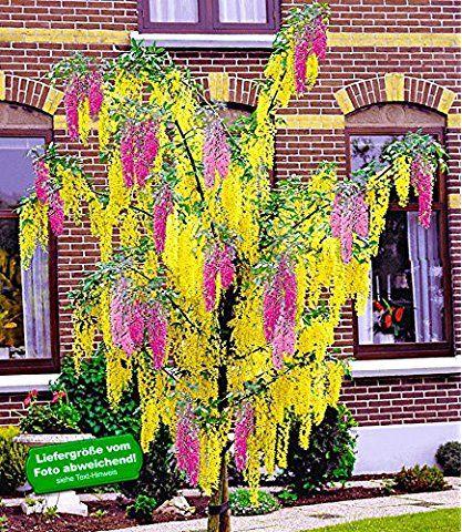 Baldur Garten Chimaren Goldregen 1 Pflanze Laburnocytisus Adamii Pflanzen Vorgarten Pflanzen Garten