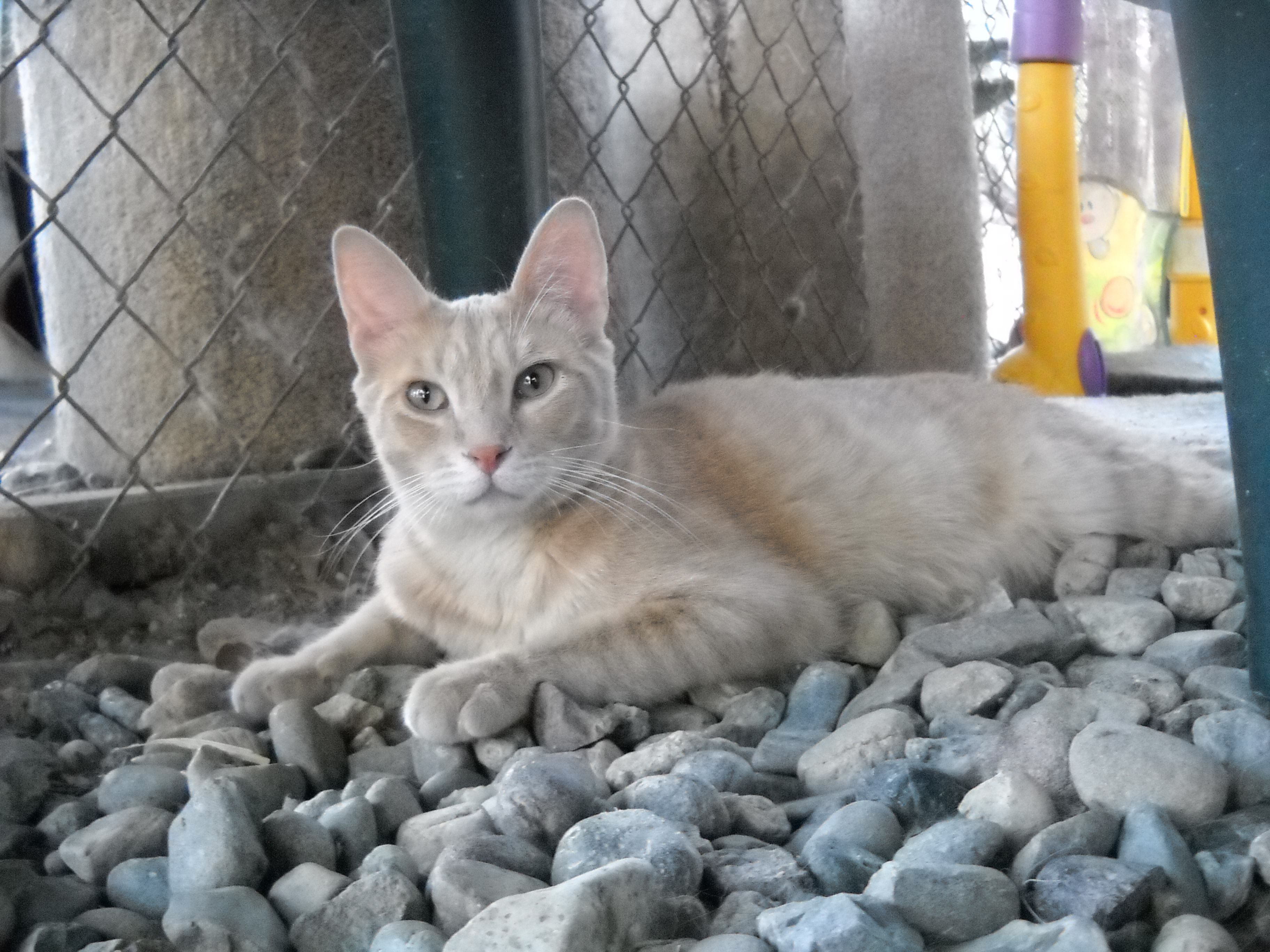 Pretzel is 1yearold cat with a dilute ivory/orange short