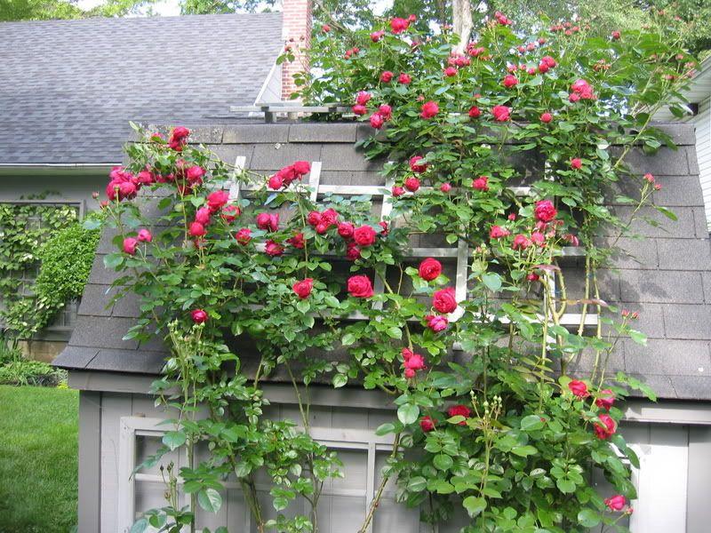 Easiest Roses To Grow Foolproof Rose Growing Guide Growing Roses Simple Rose Eden Rose