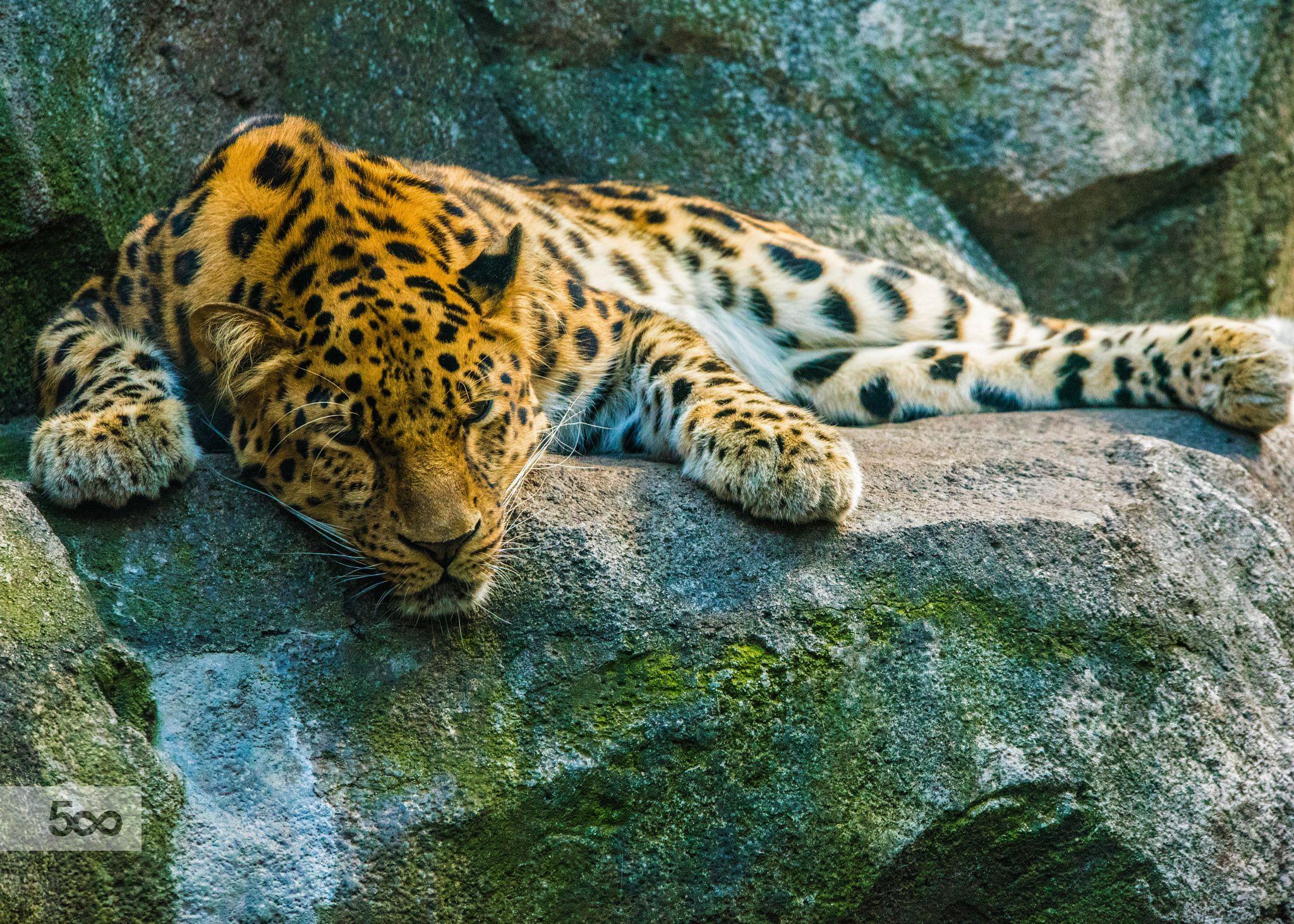 MNZOO leopard by Dustin Doust / 500px