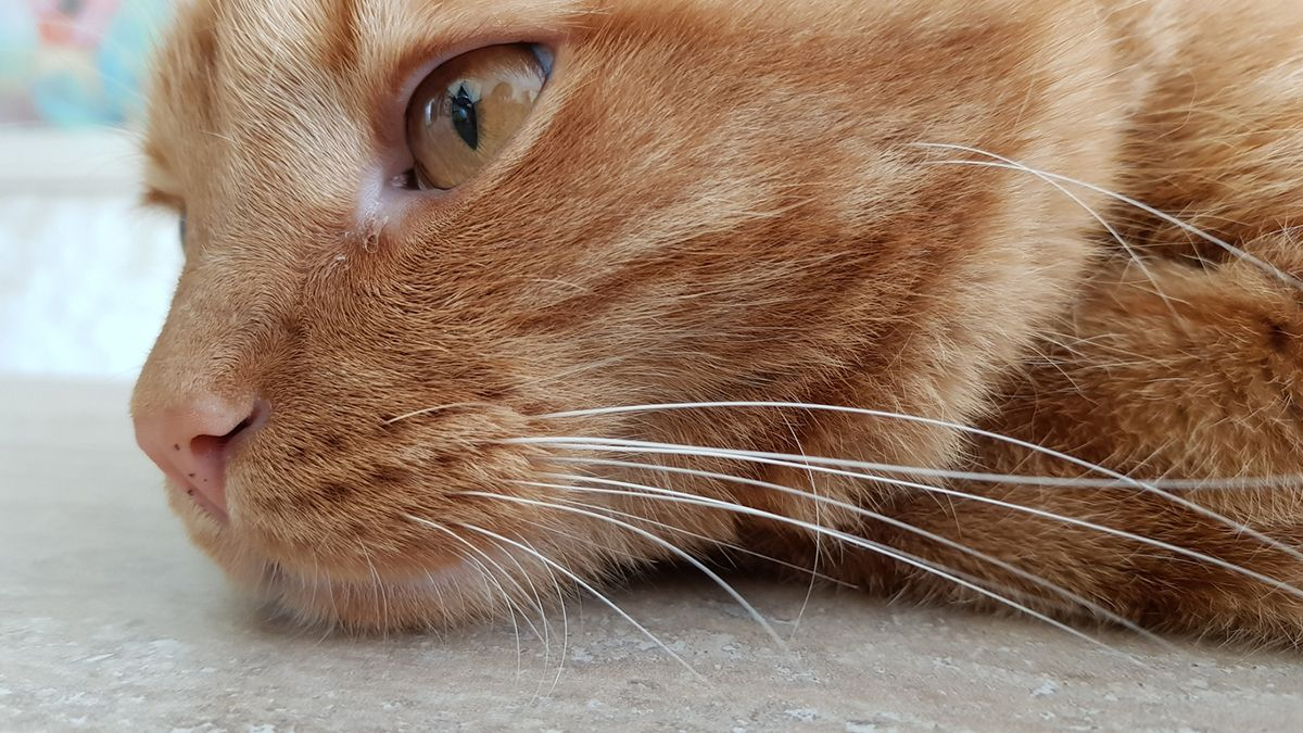 Are Dark Spot On A Cat S Nose Freckles Or Something More Cat Has Fleas Cats My Cat Has Fleas