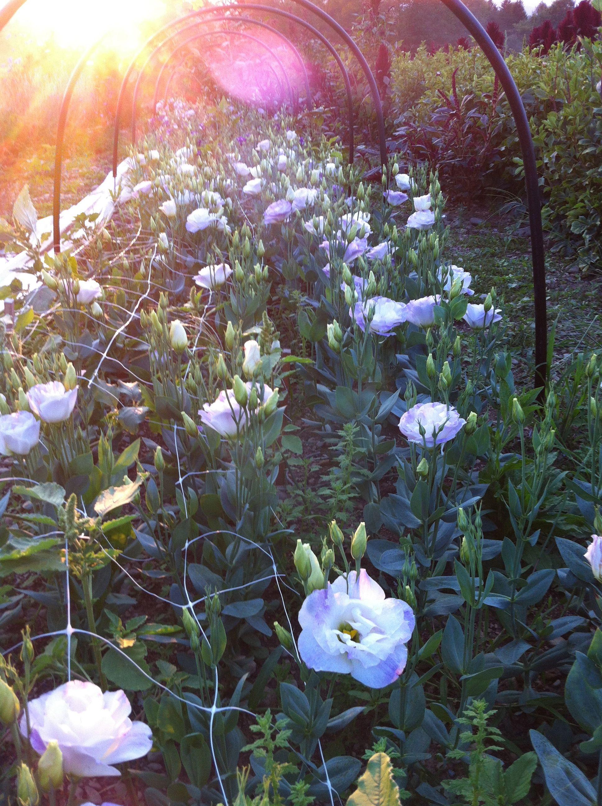 lisianthus in white, cream pink, purple, blue rim, blue