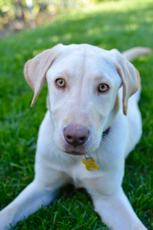 Labrador Retriever Dog For Adoption In Salt Lake City Ut Adn 707101 On Puppyfinder Com Gender Female Age Labrador Retriever Kitten Adoption Puppy Adoption