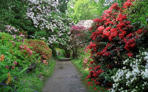 Leonardslee Gardens, West Sussex, England | Tranquil walks through woodland paths lined with flowering azaleas and rhododendrons in May (2 of 23) - http://www.1pic4u.com/blog/2014/09/28/leonardslee-gardens-west-sussex-england-tranquil-walks-through-woodland-paths-lined-with-flowering-azaleas-and-rhododendrons-in-may-2-of-23/
