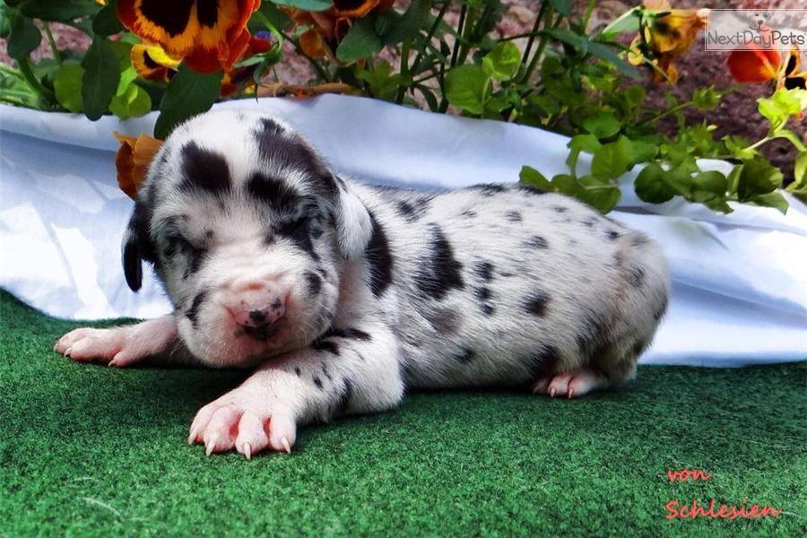 Cheap Great Danes For Sale Great Dane Puppy Great Dane