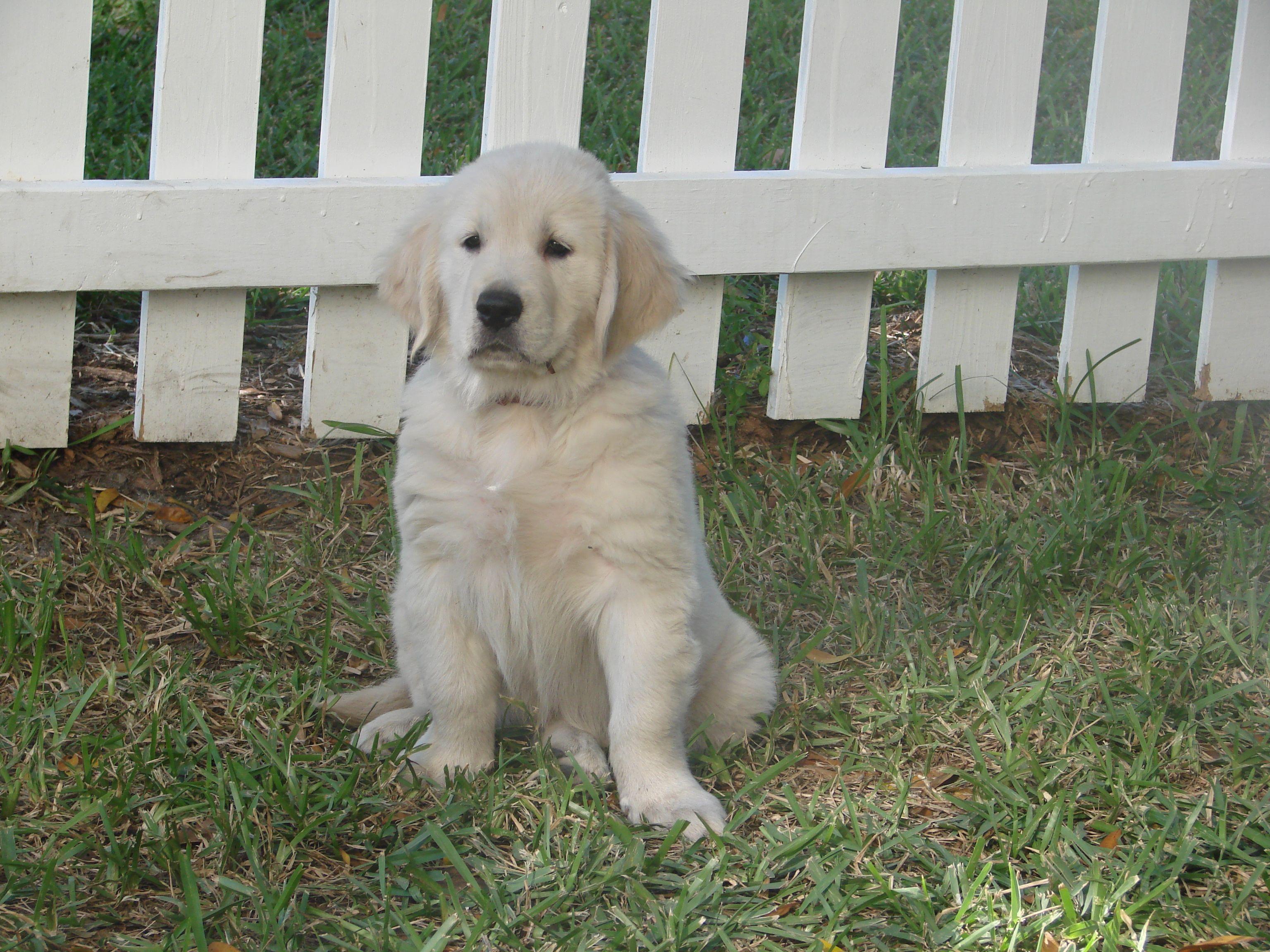 My Dog Burly At 8 Weeks An English Cream Golden Retriever
