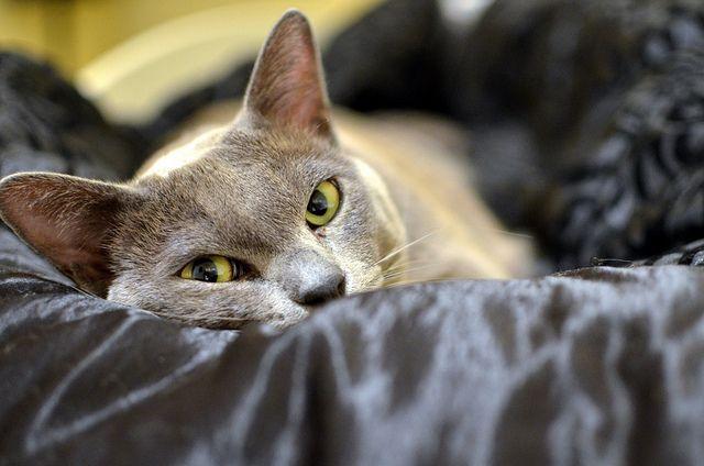 Panthro The Blue Burmese Cat Burmese Cat Cat Behavior Cats