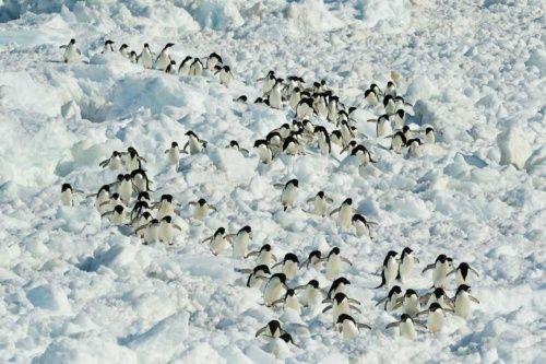第14回 ペンギン参勤交代 | ナショナルジオグラフィック日本版サイト