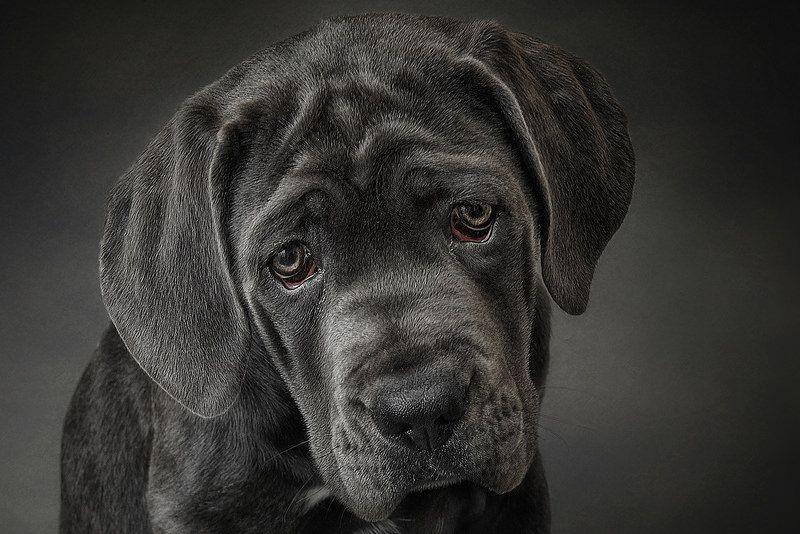 Wish Master Cane corso, Animals, Pitbull puppies